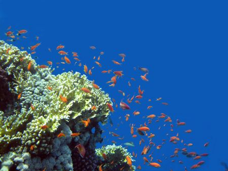 sinai peninsula: Underwater life of coral reeves of Red sea near the Sinai Peninsula