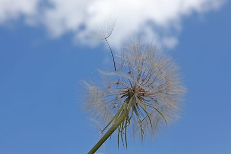 dandelion in the wind against the blue sky with clouds photo