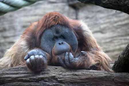 The orangutan has a rest on a tree trunk in the wild  photo