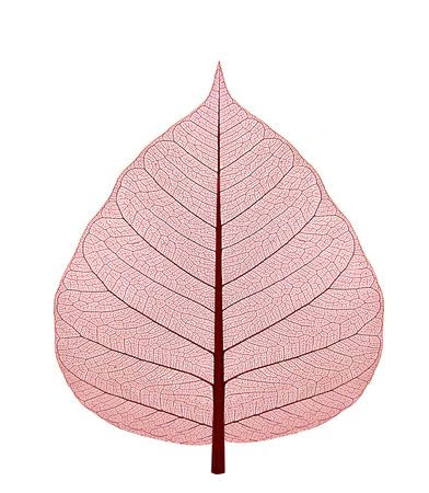 airy texture: Dried up leaf with red shade on a white background Stock Photo