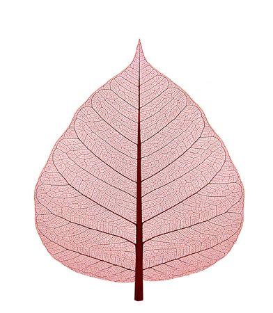 dode bladeren: Gedroogd blad met rode schaduw op een witte achtergrond