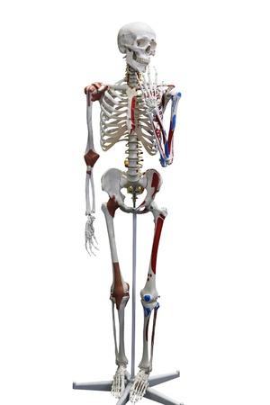 Skeleton breadboard model. Isolation on the white Stock Photo - 8424752