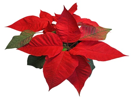 Red poinsettia on white background with leaves of different colors photo