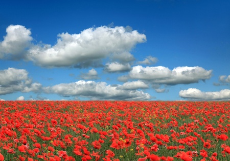 Field of poppies with beauty blue sky  photo