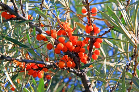 shined: Beautiful branch with the sea-buckthorn berries , shined sideways Stock Photo