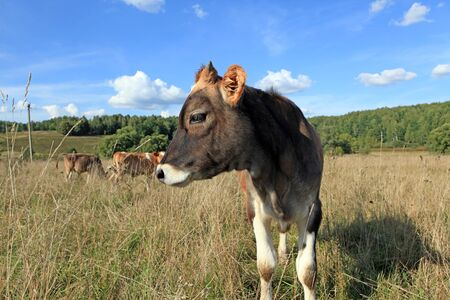 are grazed: The young calf is grazed on a meadow in the summer Stock Photo
