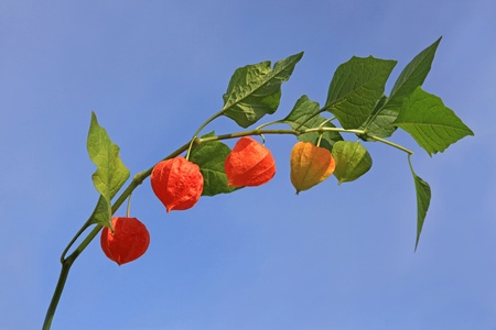 physalis: Branch physalis with fruits against the blue sky
