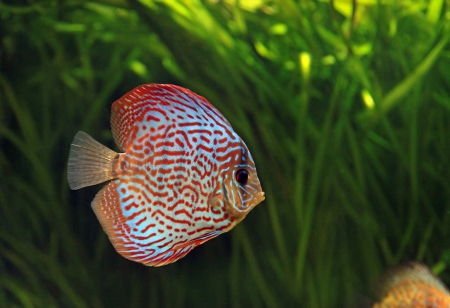 bright tropical fishes in an aquarium among algas Stock Photo - 14894196