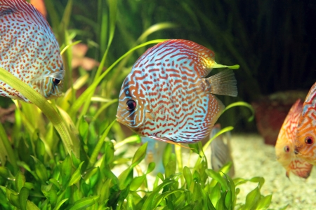 bright tropical fishes in an aquarium among algas Stock Photo - 14894190