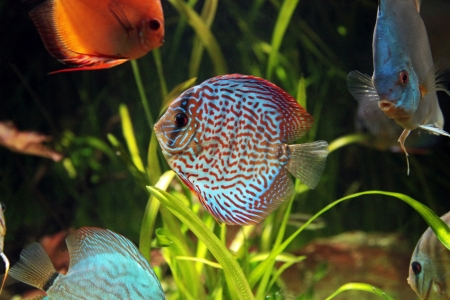 bright tropical fishes in an aquarium among algas Stock Photo - 14894186