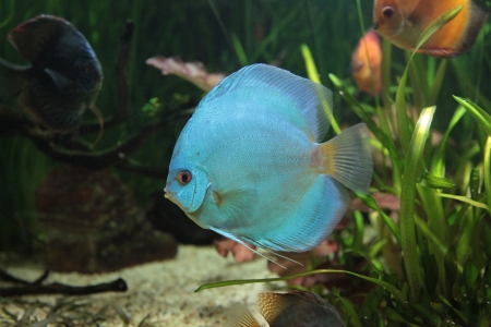 bright tropical fishes in an aquarium among algas Stock Photo - 14894178
