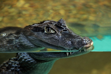 caiman:  crocodile in an oceanarium behind glass watches visitors