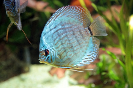 bright tropical fishes in an aquarium among algas  photo