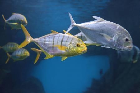 pez pecera: brillantes peces tropicales entre los corales del Mar Rojo Foto de archivo