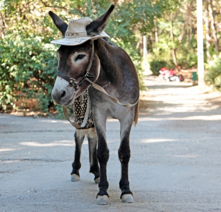 burro: Burro hermoso en un sombrero de vaquero presenta en el parque