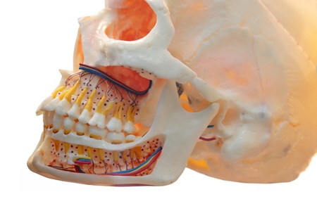 model of a skull of the person for stomatology Stock Photo - 16460918