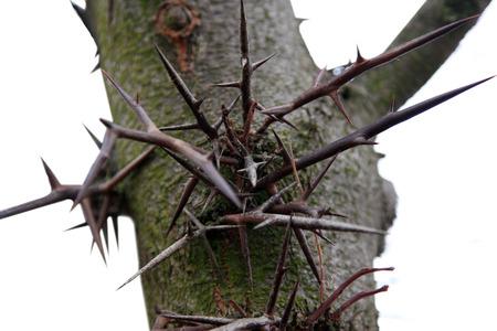 langosta: grandes espinas en el árbol de Acacia 3 espinas Gleditsia triacanthos