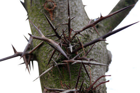 trees with thorns: large thorns on the tree Acacia 3 spines  Gleditsia triacanthos