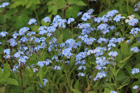 jack frost: Peque�as flores azules Jack Frost, tambi�n conocido como Falso Forget-me-not