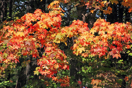 autumn trees: The maple leaves on the autumn trees - yellow, red, green