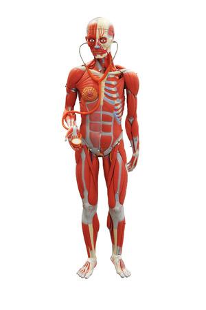 donacion de organos: Modelo anatómico de un hombre aislado en blanco