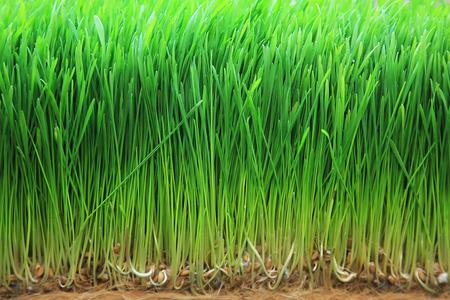 人間と動物の食事療法のための若い小麦大麦 写真素材
