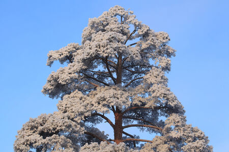 frost winter: Pine tree branches under the frost winter sunny day. Beautiful winter  background.