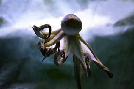 tentacles: Octopus swims under water. The image of the aquarium.