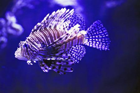 lionfish: The blue lionfish in the sea aquarium Stock Photo