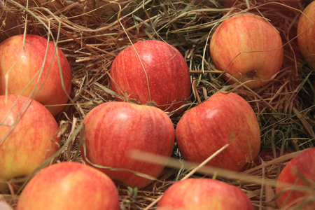 ripe: Ripe red apples in a basket with straw. Autumn photos