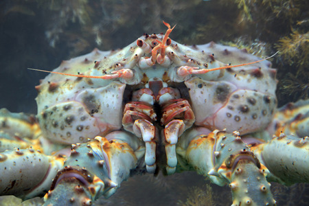 crustacea: Kamchatka King crab in the waters of the Pacific ocean