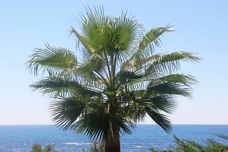 Coast of the Mediterranean sea. Fan palm on blue sky background. Stock Photo