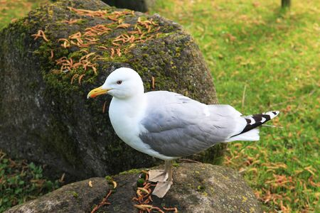 European Herring Gull is one of the best known of all gulls along the shores of  Europe.