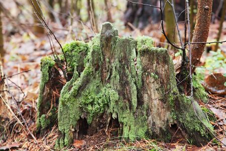 Close up of green moss on a tree stump with blurred forest on the background. An old tree stub covered with moss. Stock Photo