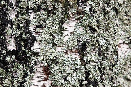 white lichen on the bark of an old birch