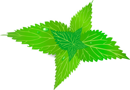 nettle: The nettle, leaf, green, a burn, Illustration