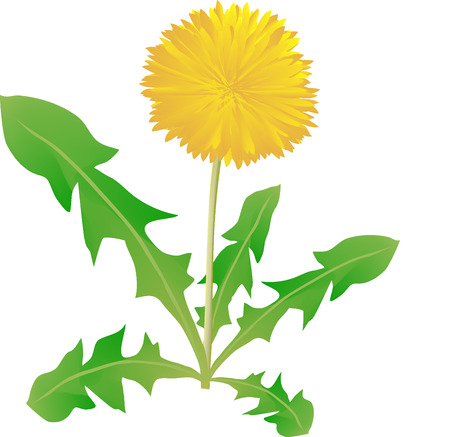 medical  plant: Dandelion on a white background, a medical plant, a flower the growing on the road, medicinal grass, a yellow dandelion, a meadow flower, a green leaf, a yellow petal, a garden weed, beautiful flora