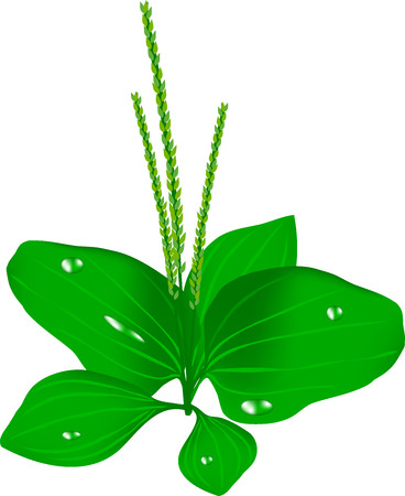 greens: great plantain, plantain green, a herb, a weed garden, a greens bunch, useful botany, a meadow plant, dew drops on greens, the natural doctor, a roadside grass, a wide leaf,