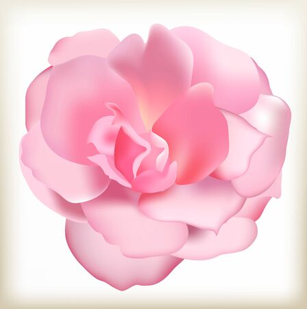 Flower of a pink rose, the blossomed garden plant, the blossoming flora in a kitchen garden, the revealed bud of a flower, pink rose isolated