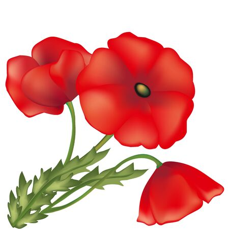blossomed: Red poppies, green plants, vector flower, wildlife, green leaf, decorative element, long stalk, scarlet petals, buds in a bouquet, a flora element,