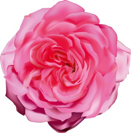 fragrant: Pink rose, beautiful flower, vector illustration, live plant, blooming of petals, a fragrant bud is isolated on a white background,