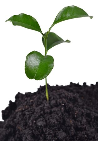 replant: Small sprout growing in the soil on a white background