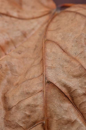 dead leaf: Dry dead leaf close up Stock Photo