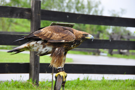 abductor: Side view of brown eagle ready to flight Stock Photo