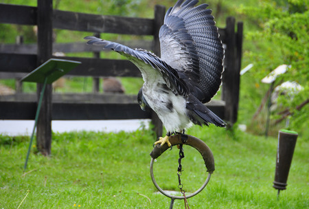 raptorial: Grey Buzzard in captivity for falconry trained with wings raised I drafted and presented to fly