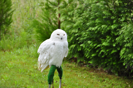 captivated: Portrait of snowy owl sitting on ring against of green trees Stock Photo