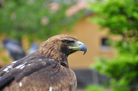 falconry: Beautiful hawk staring at the camera in an exhibition of falconry