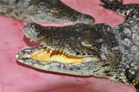 Pretty crocodile with open mouth Stock Photo