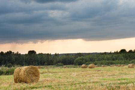 weed block: Field with rolls of straw on a summer day after harvest