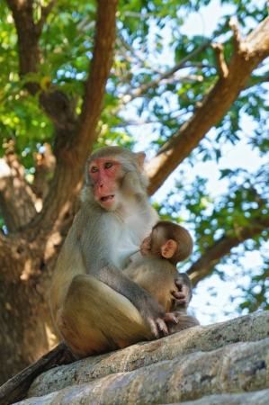lactation: monkeys Stock Photo